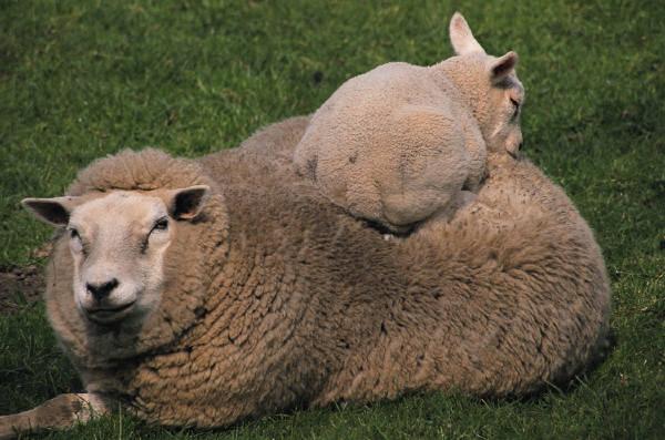 When to Shepherd, When to be Sheep